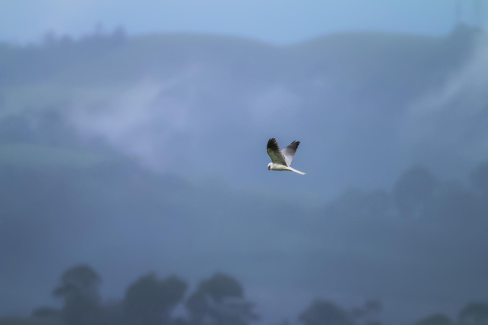 White-winged-Kite-JPEG_web.jpg