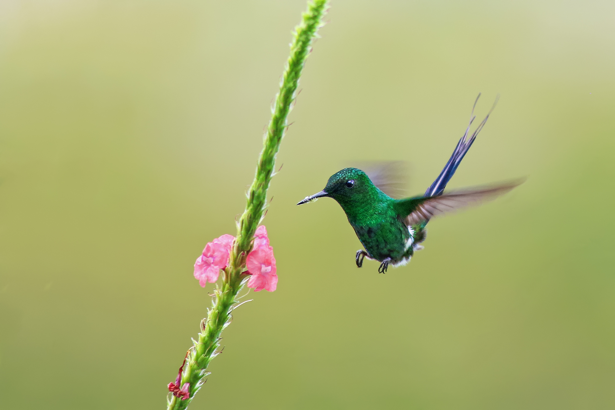 Green-Thorntail-JPEG_web 2.jpg
