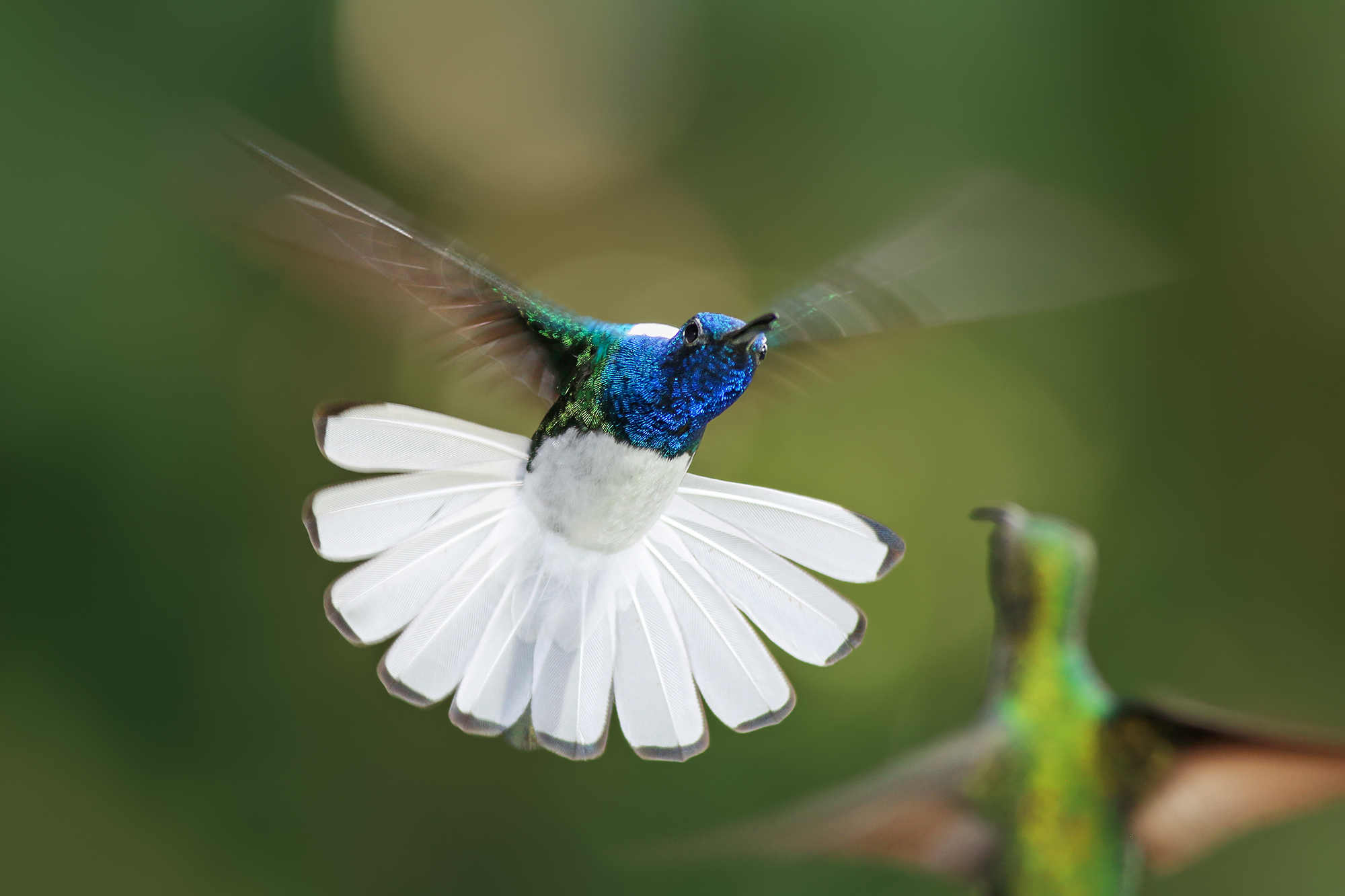 White-necked-Jacobin-JPEG_web 2.jpg