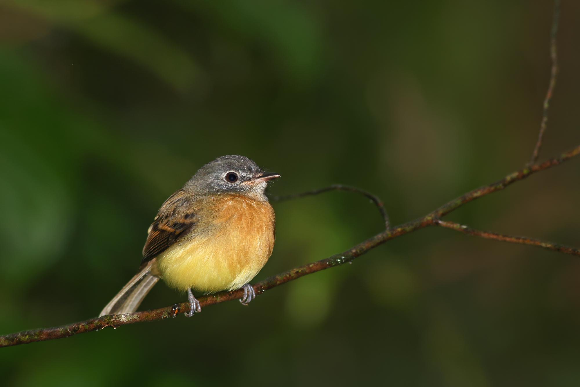 Chestnut-breasted-Flycatcher-JPEG_web .jpg