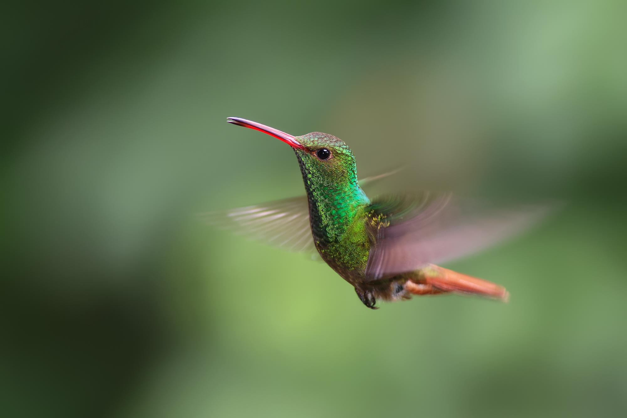 Roufus-tailed-Hummingbird-JPEG_web.jpg