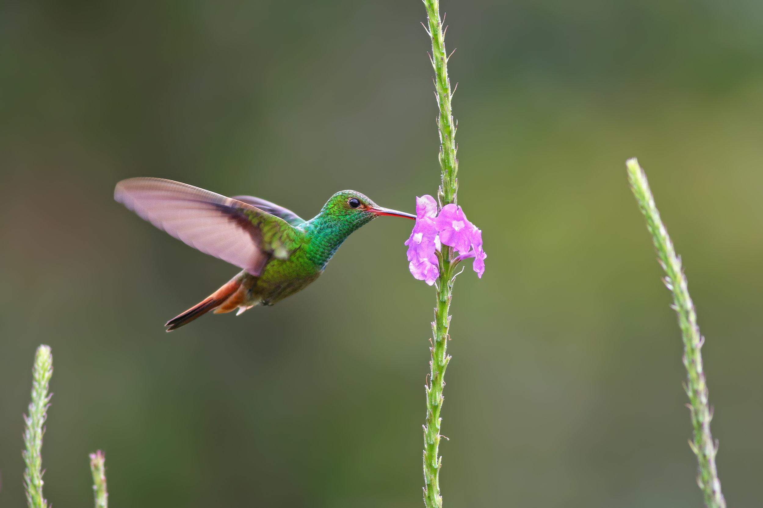 Roufus-tailed-Hummingbird-JPEG_web 2.jpg