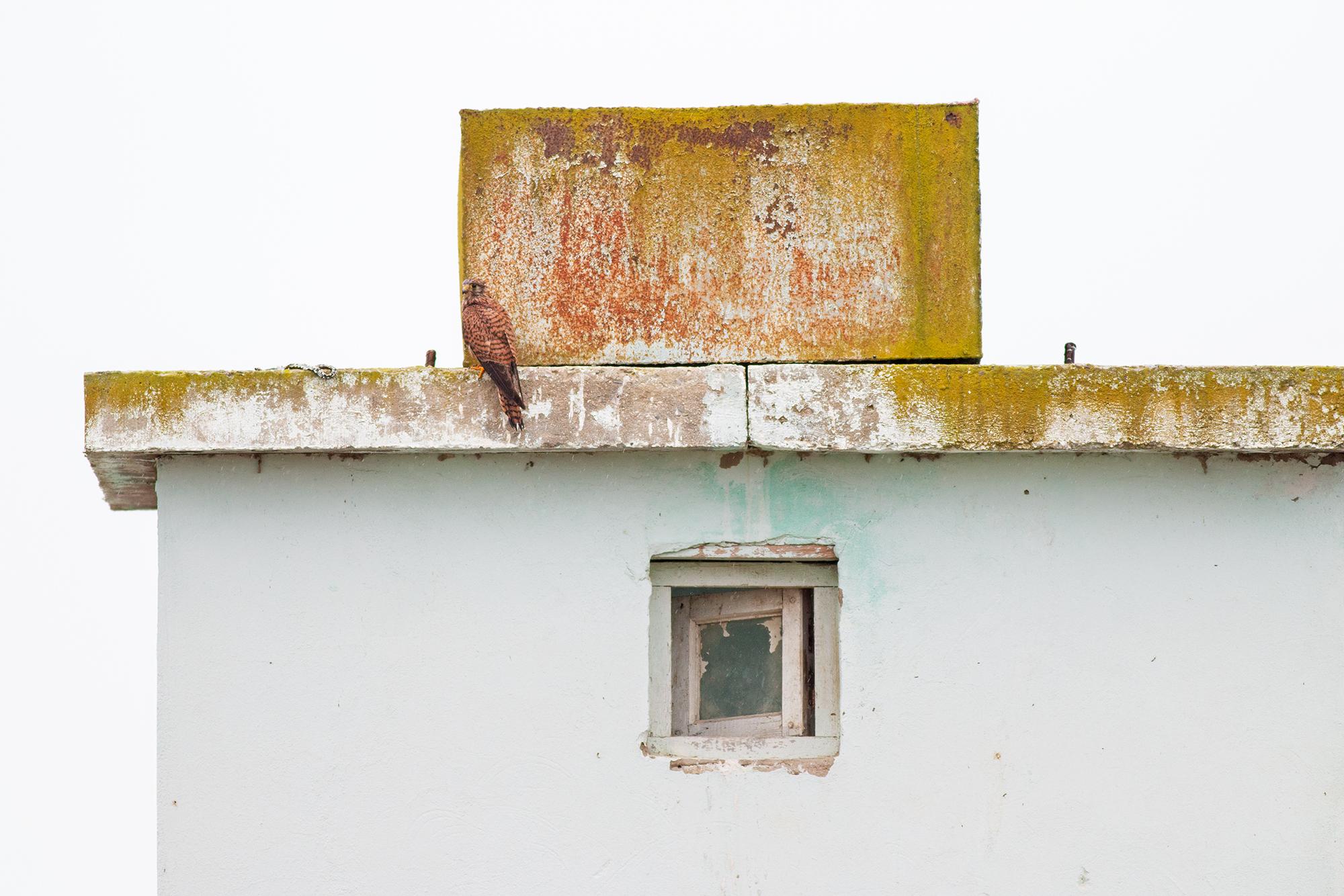 Tornfalk-JPEG_web.jpg
