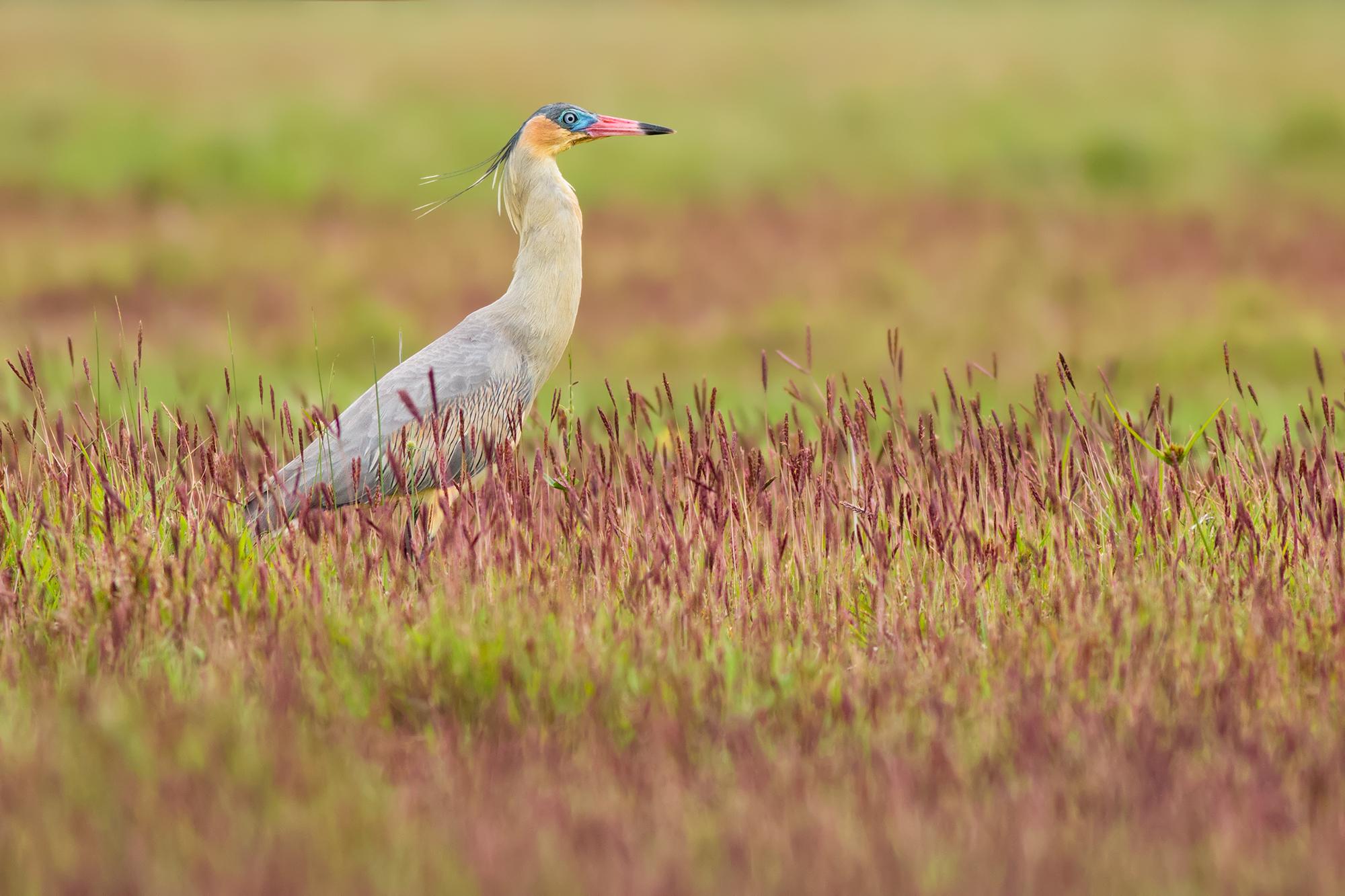 Whistling-Heron JPEG_web.jpg