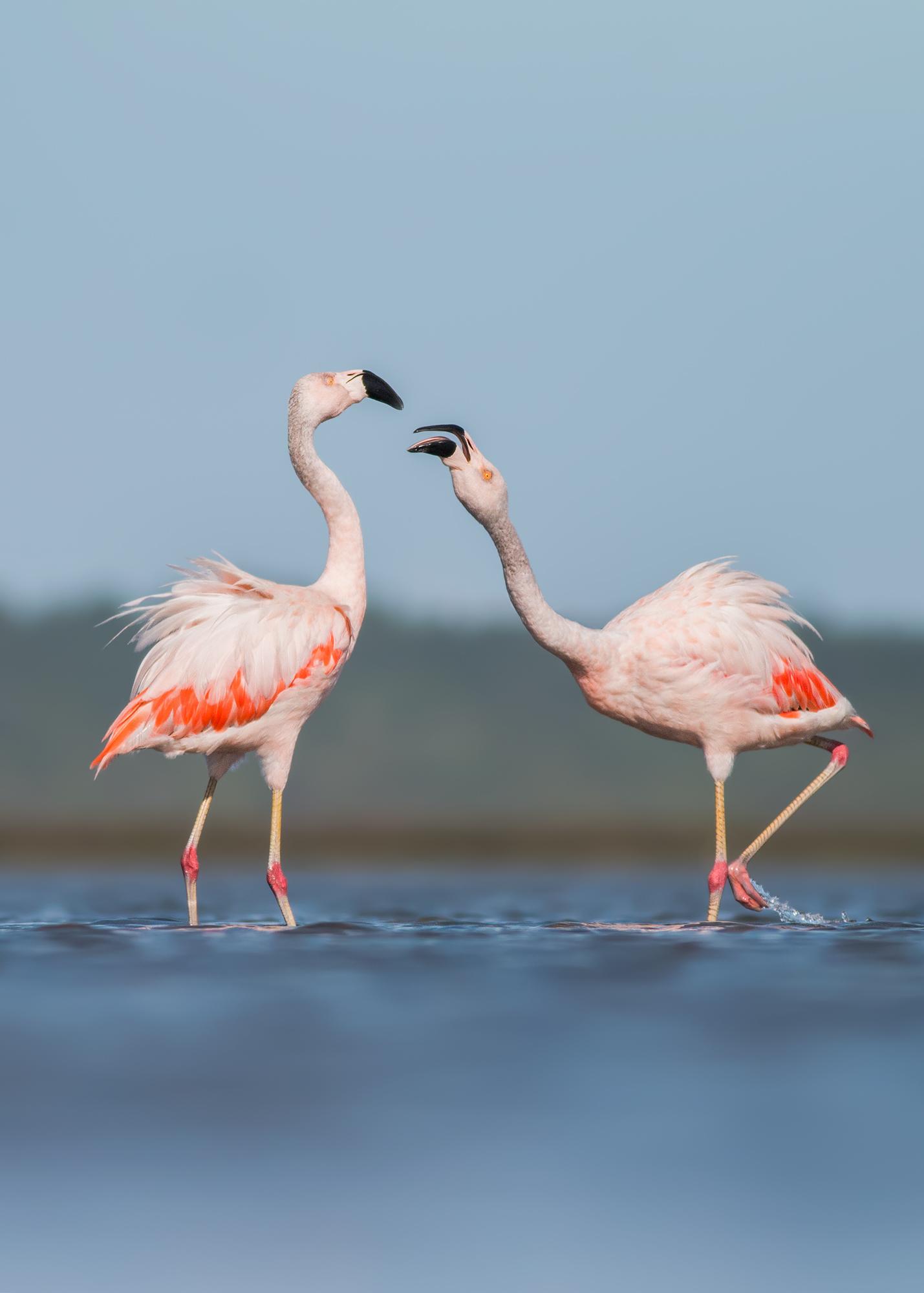 Chilean-Flamingo-JPEG_web.jpg