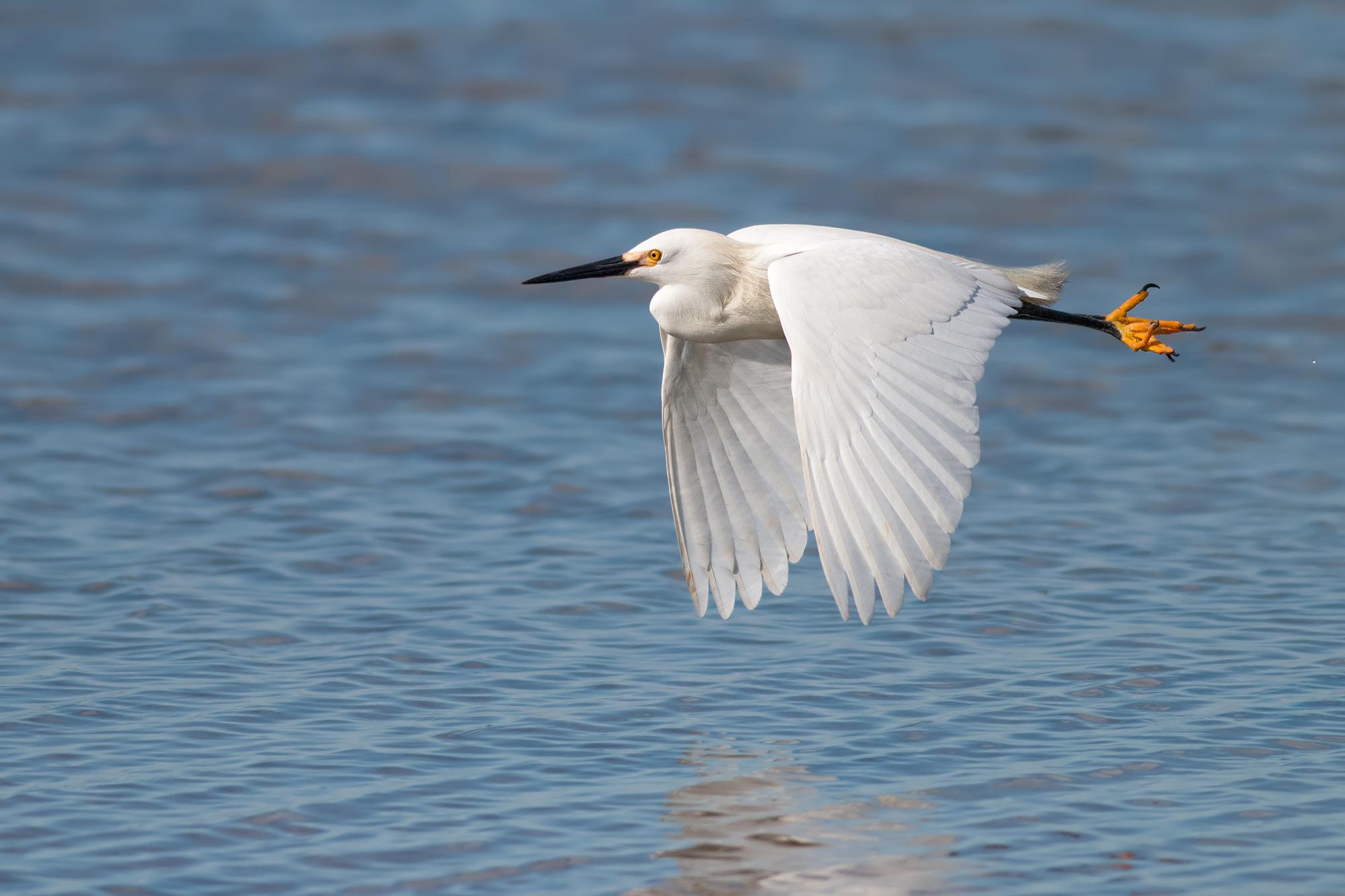 Snowy-Egret-JPEG_web.jpg