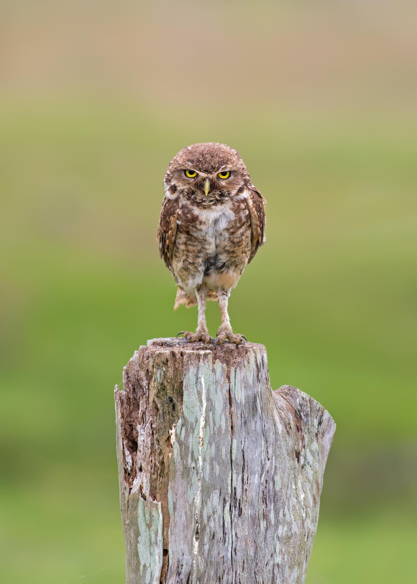 Burrowing-Owl-JPEG_web.jpg