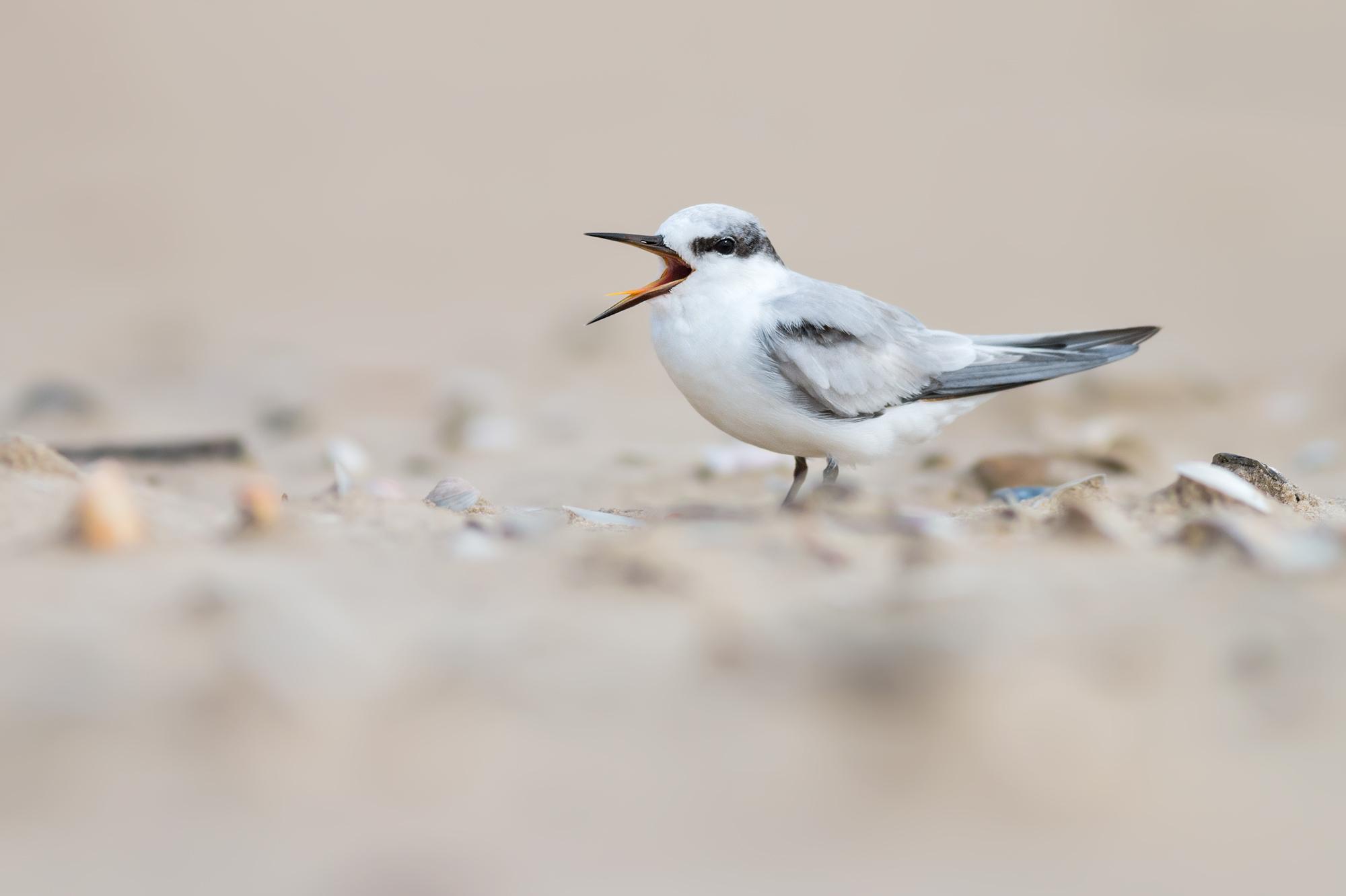 Little-Tern-JPEG_web 2.jpg