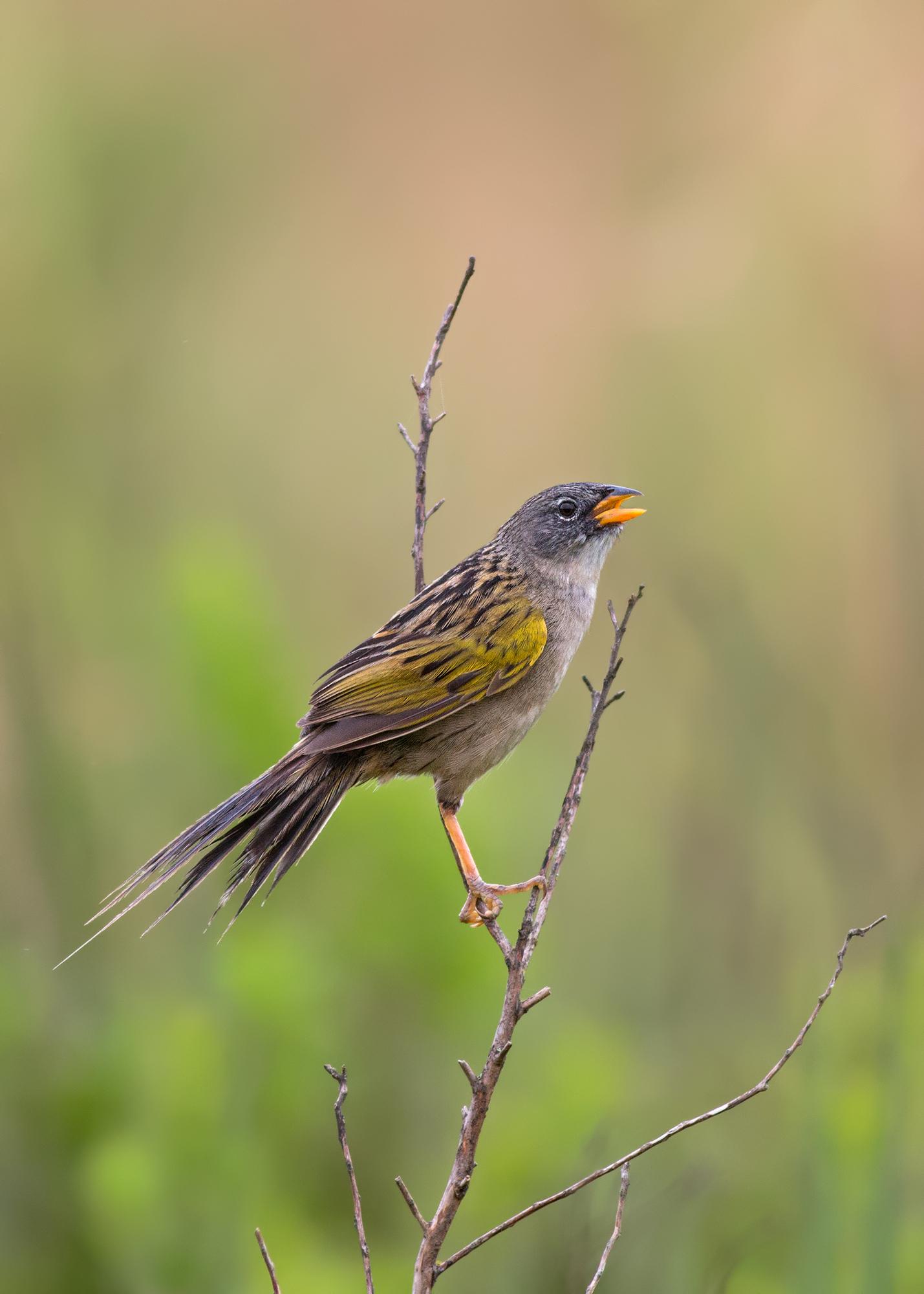 Lesser-Grass-Finch-JPEG_web.jpg