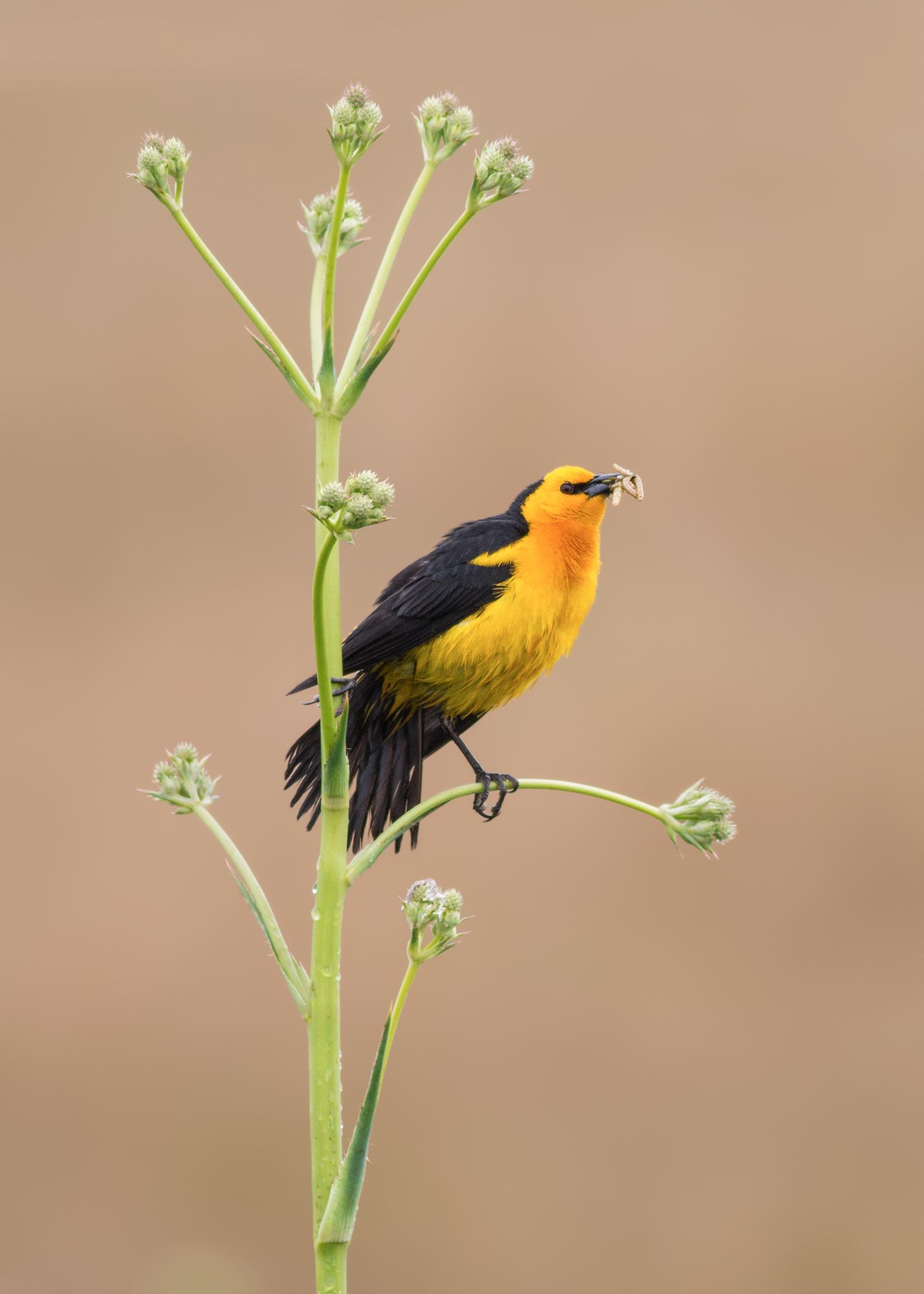 Safron-cowled-Blackbird-JPEG_web 3.jpg