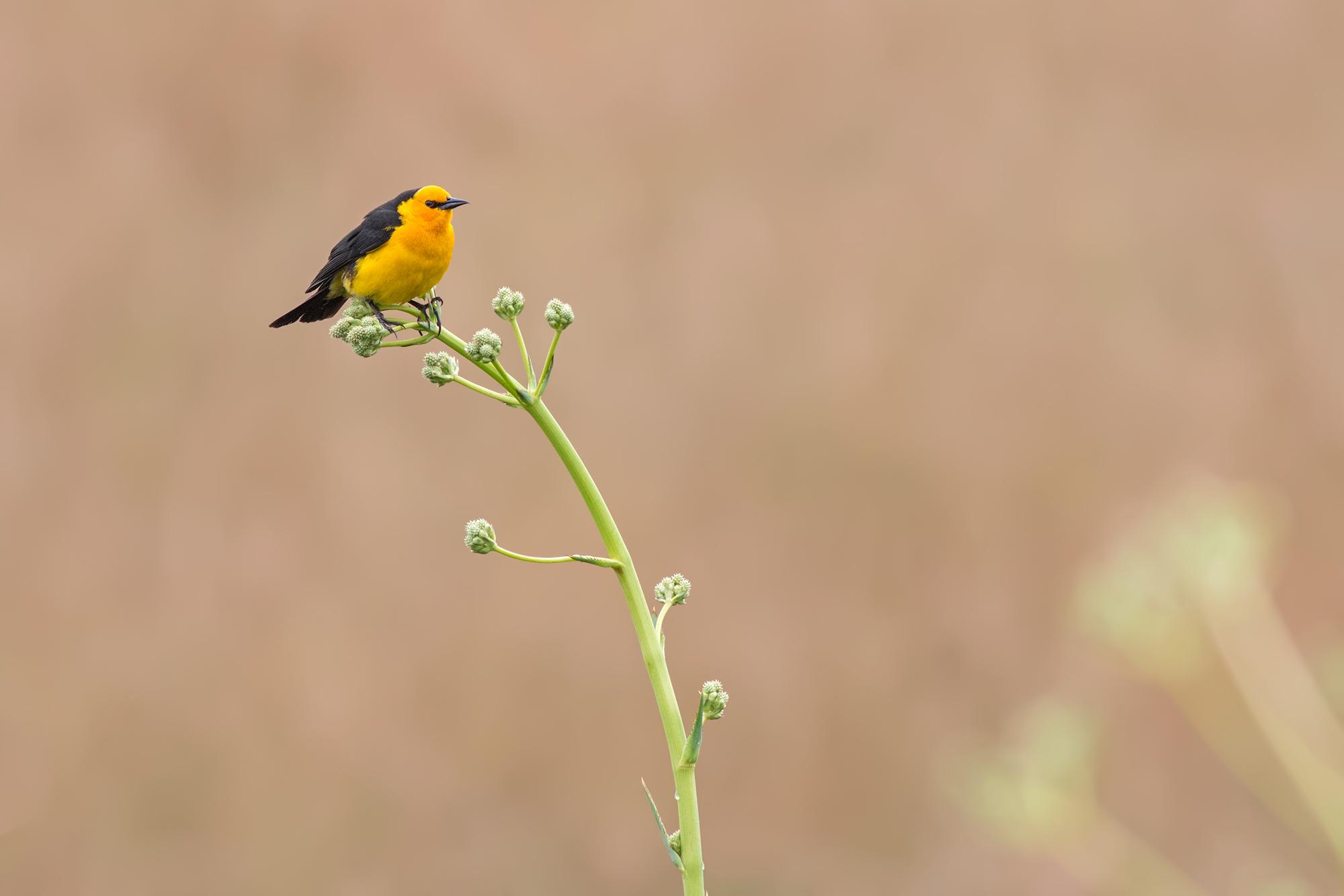 Safron-cowled-Blackbird-JPEG_web 2.jpg
