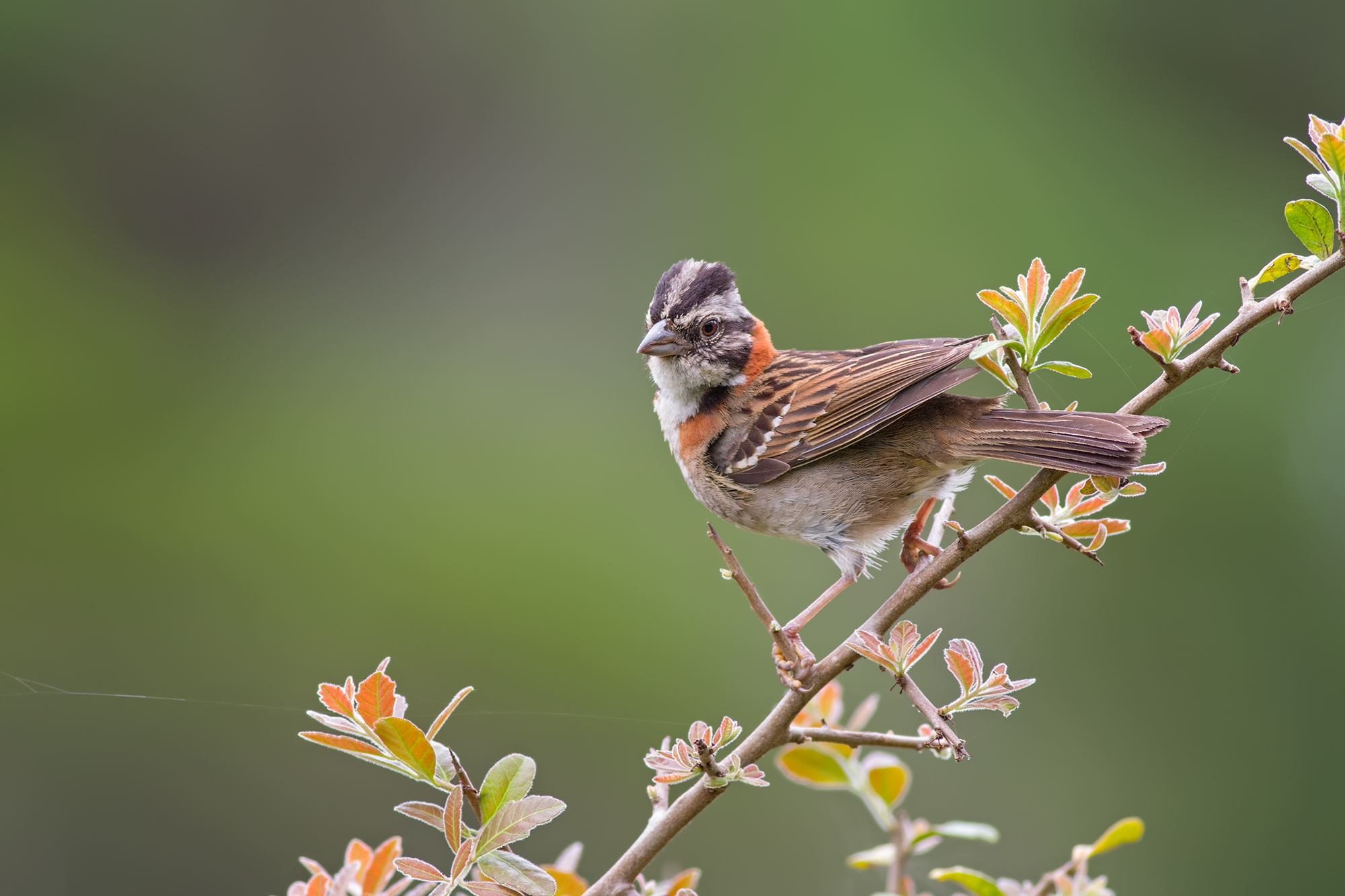 Rufous-collared-Sparrow-JPEG_web.jpg