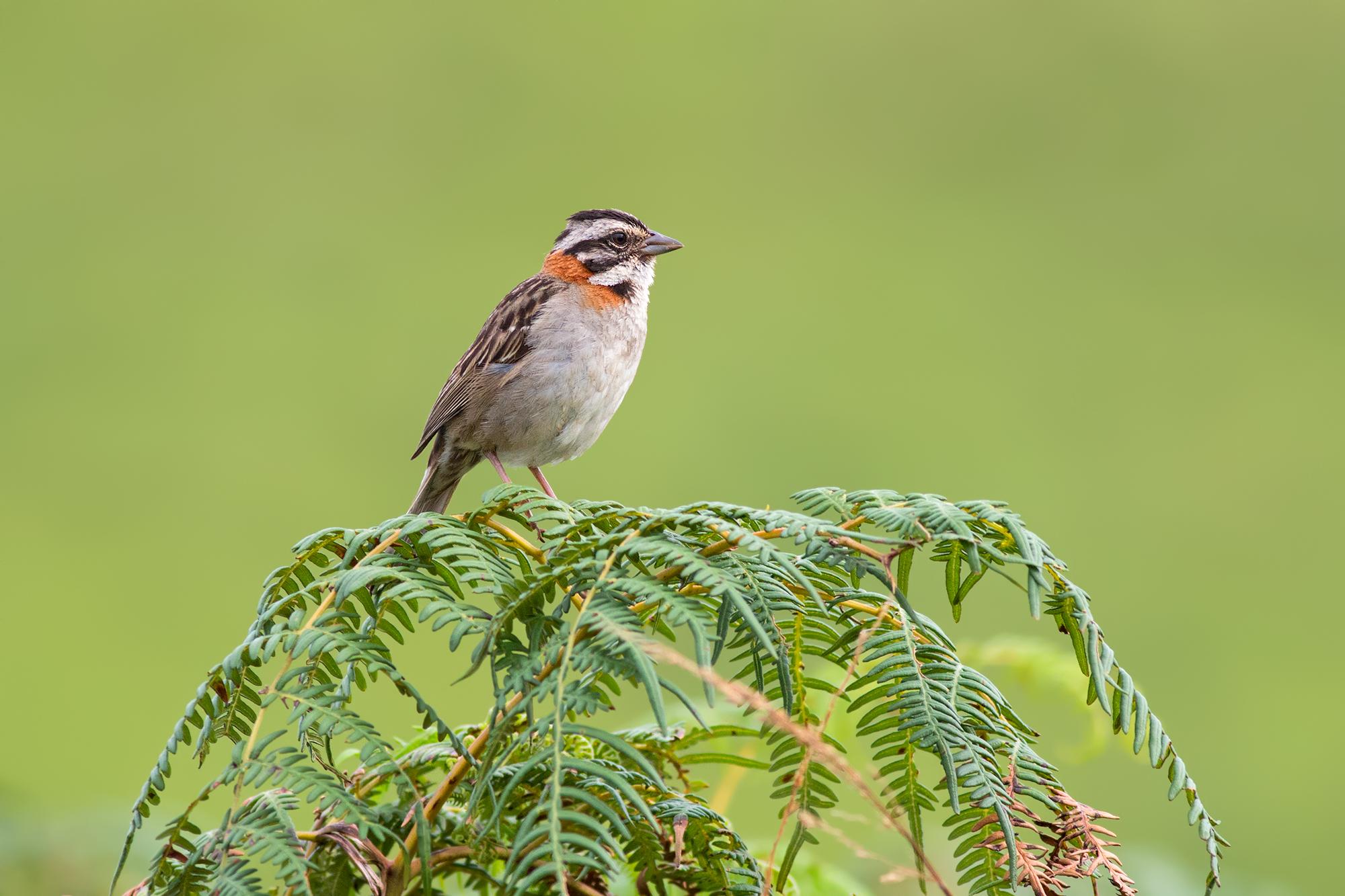 Rufous-collared-Sparrow-JPEG_web 2.jpg