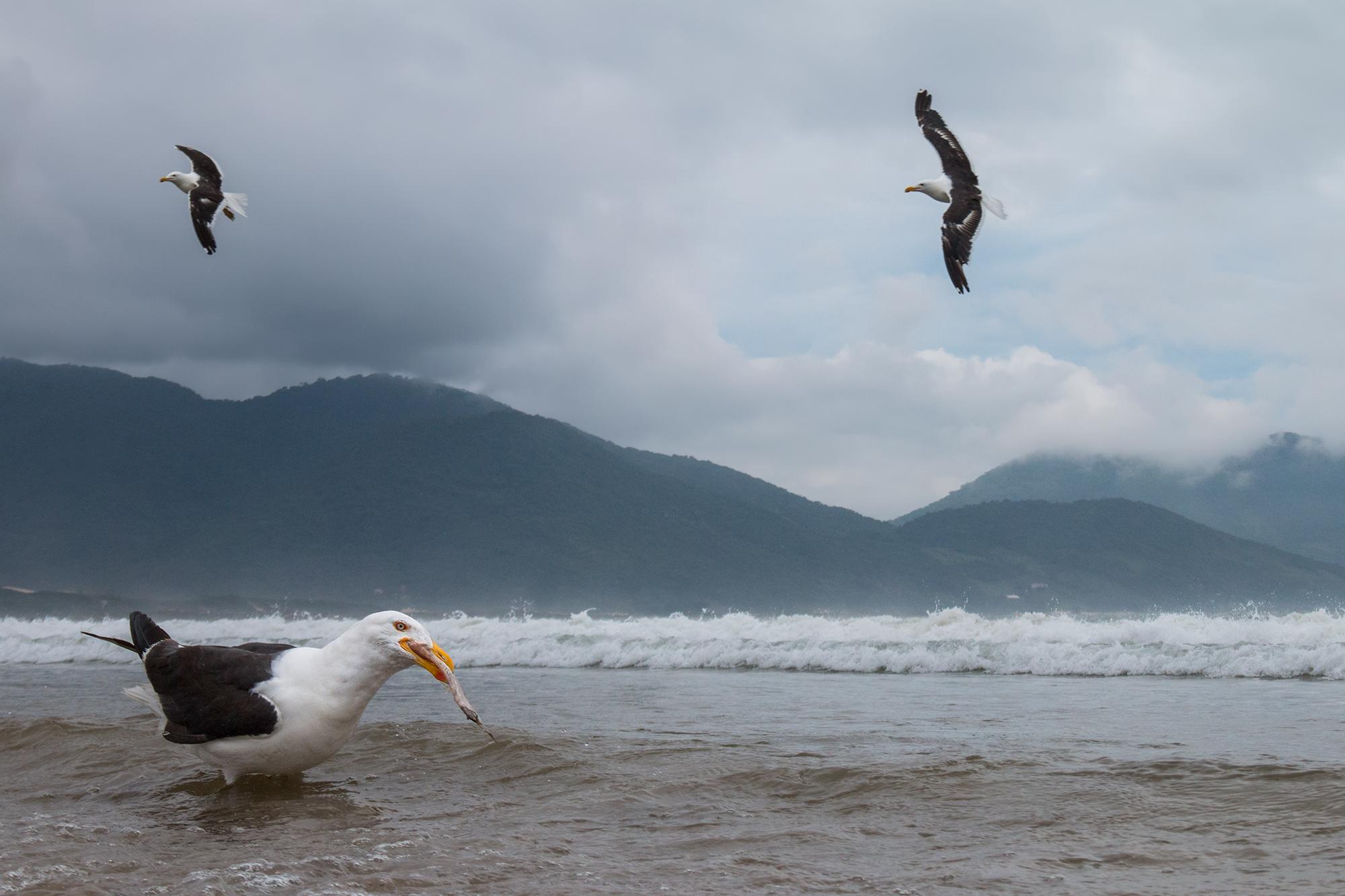 Kelp-Gull-JPEG_web 2.jpg