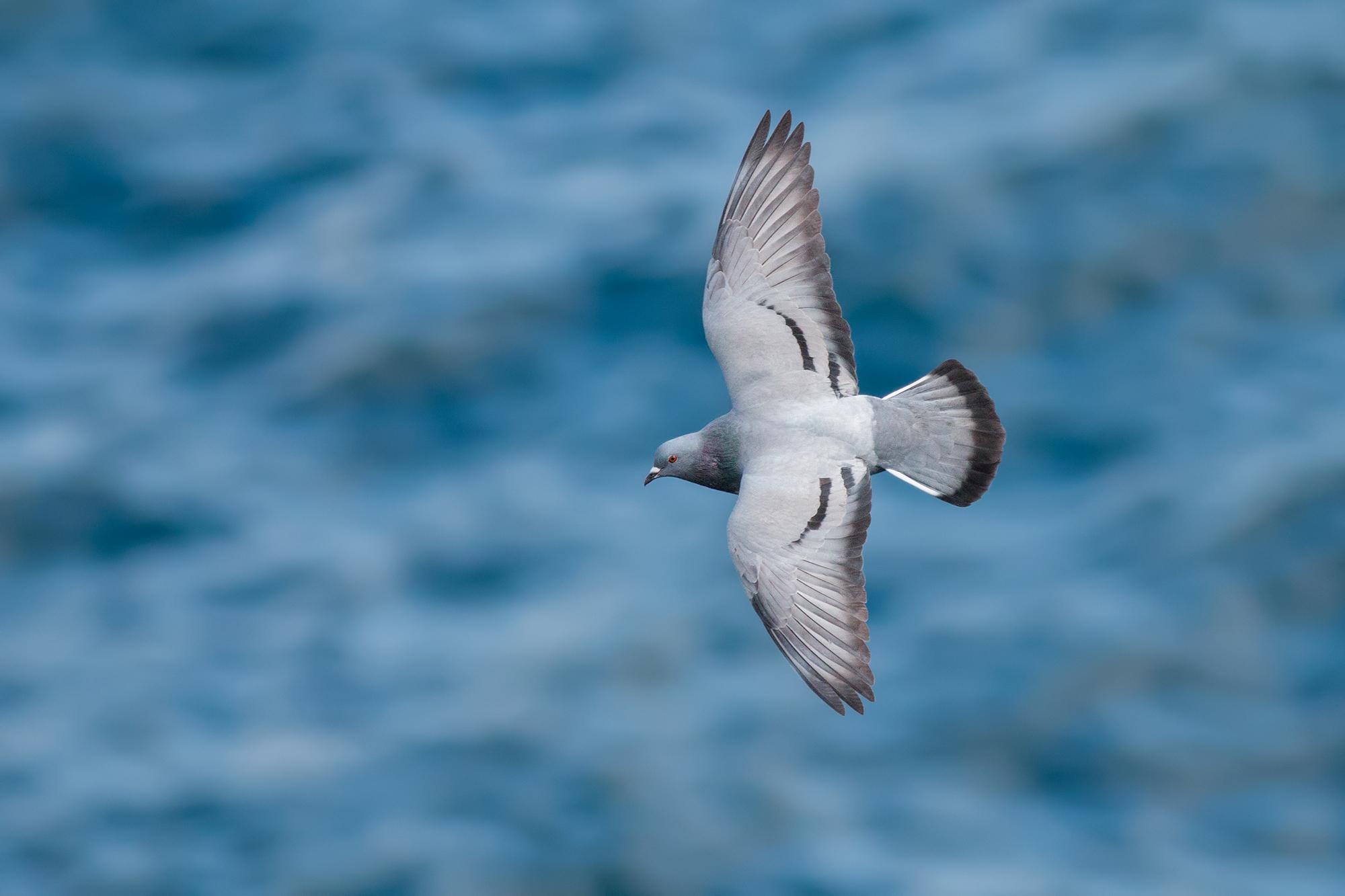 Rock-Pigeon-JPEG_web.jpg