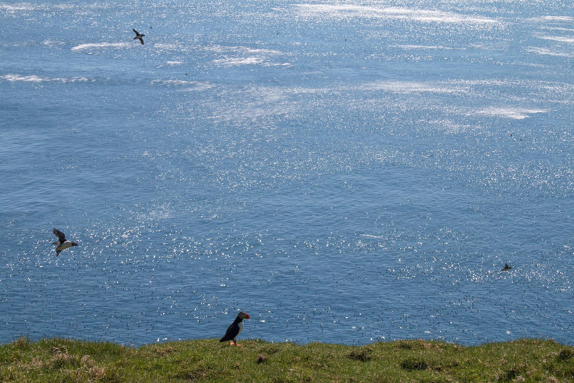 Lunnefågel-JPEG_web 5.jpg