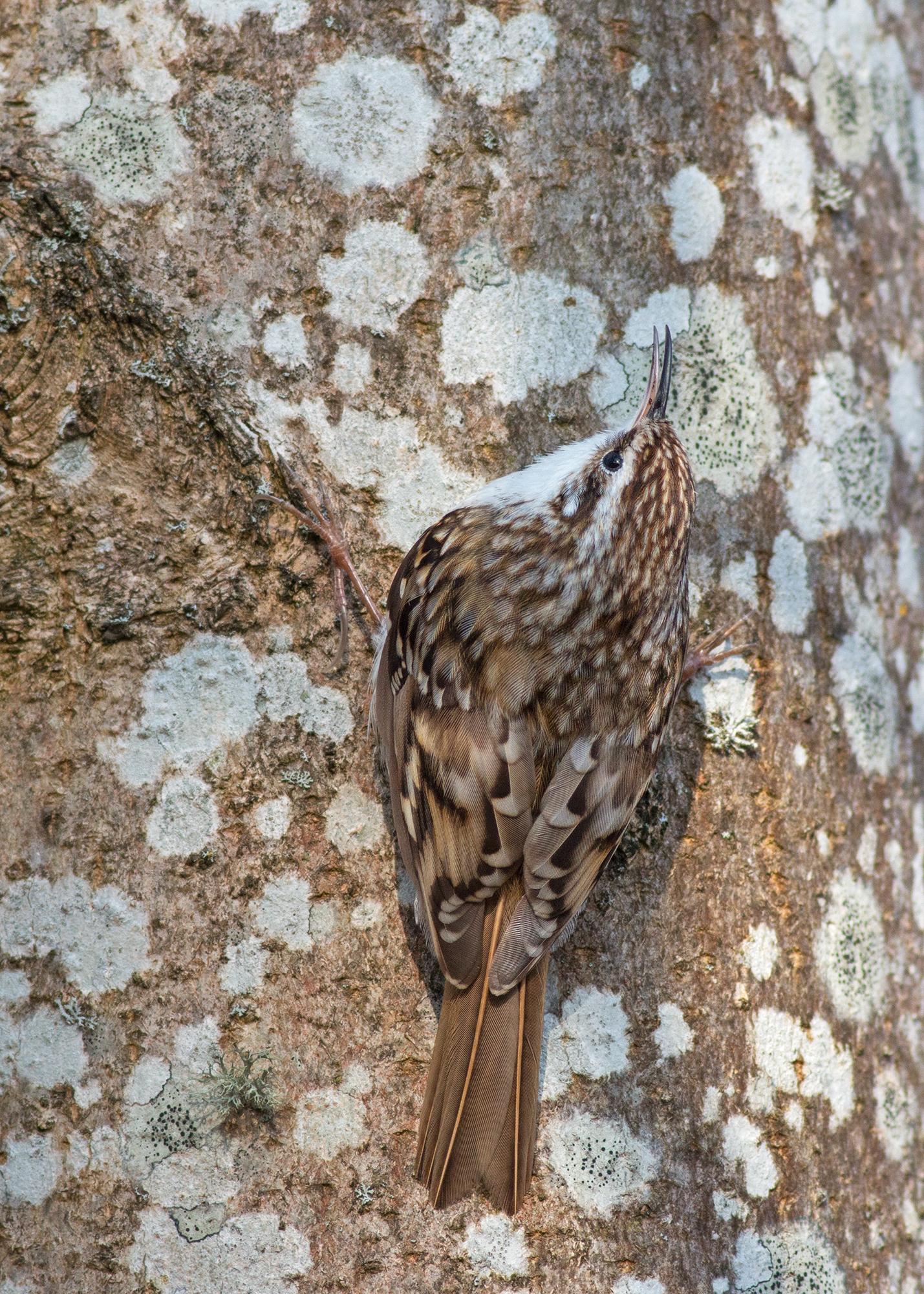 Trädkrypare JPEG_web.jpg
