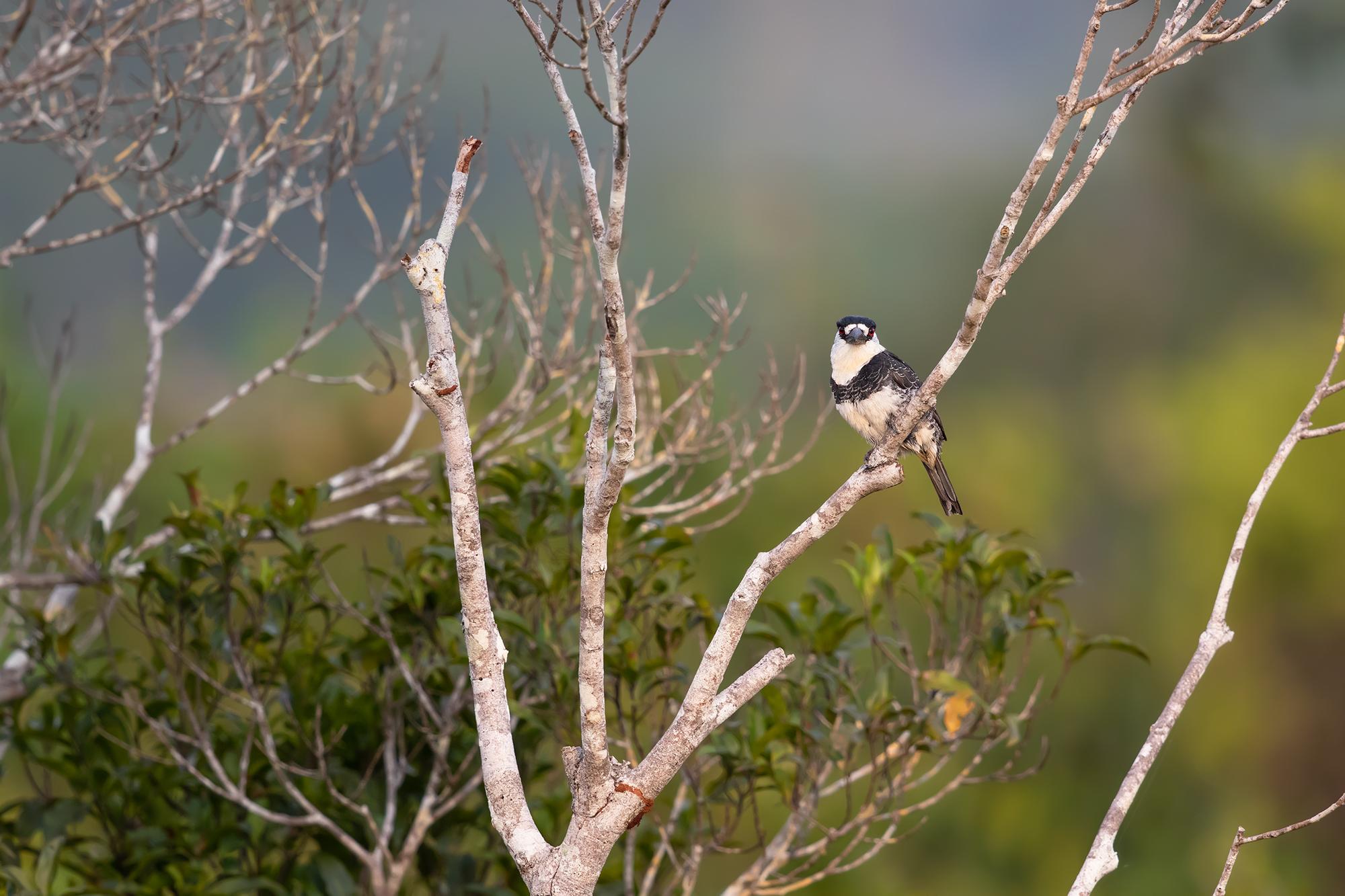Puffbird JPEG_web 2.jpg