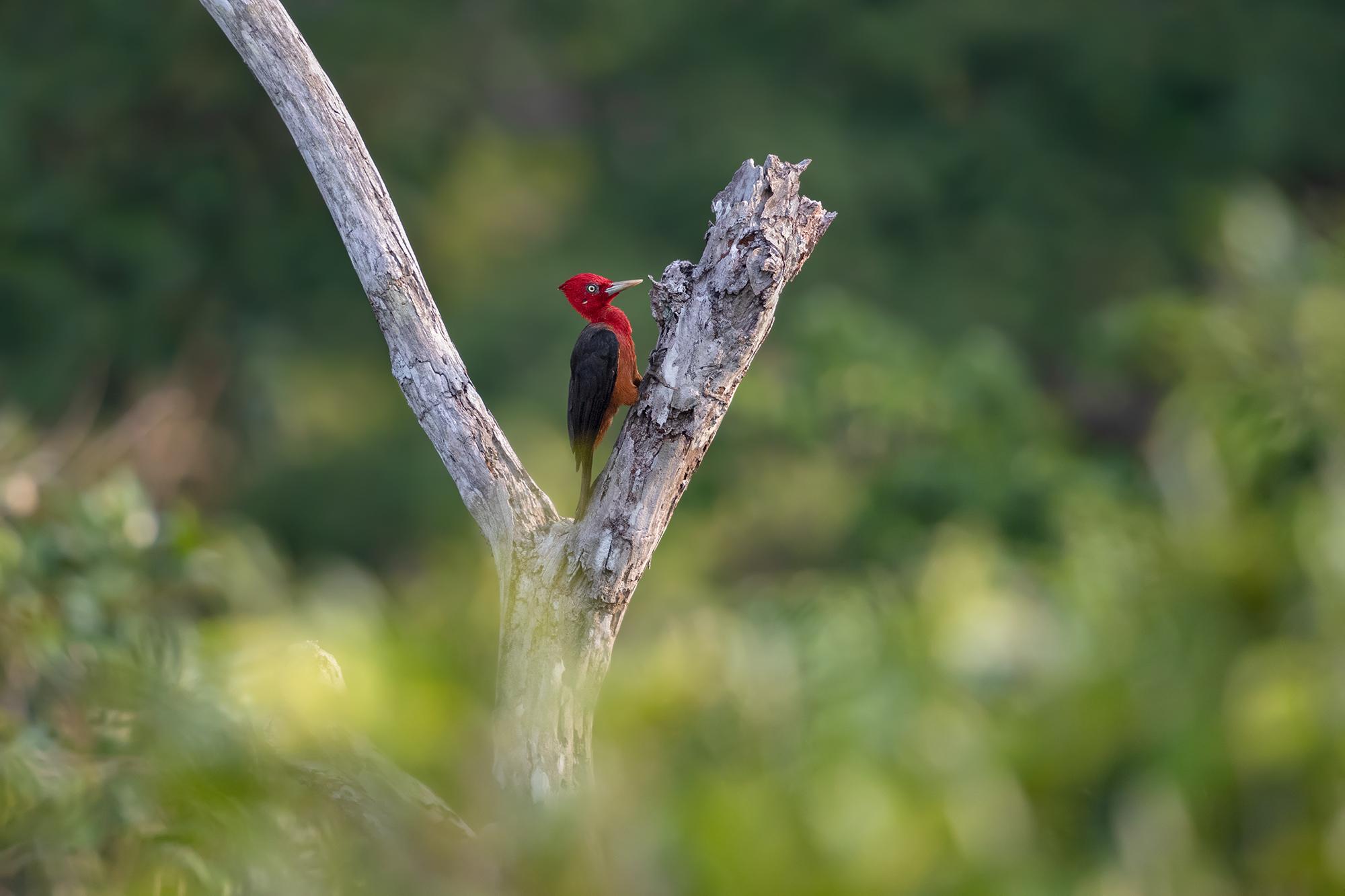Roufus Woodpecker JPEG_web_redigerad_2.jpg