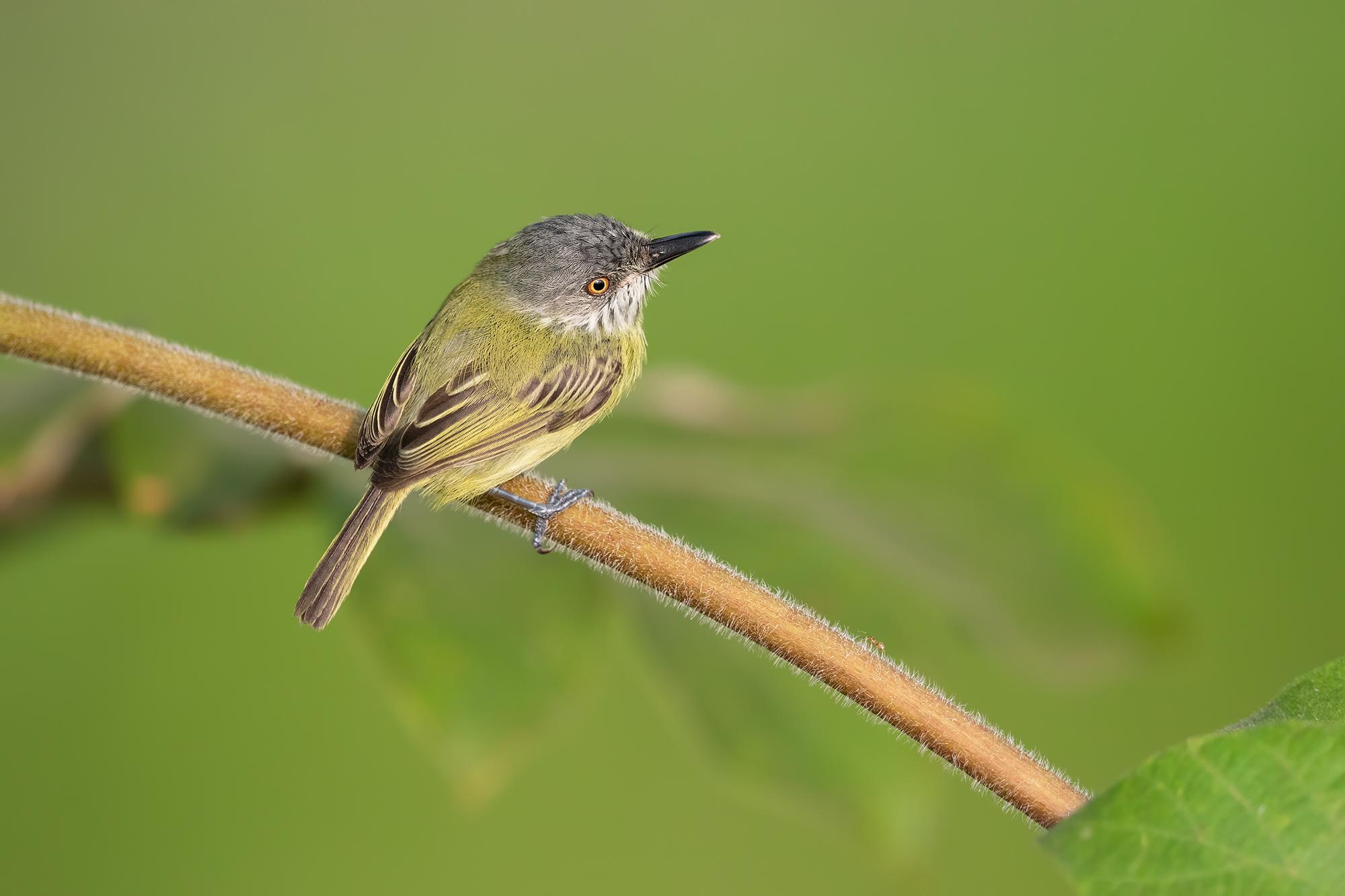 Tody-flycatcher JPEG_web 4.jpg