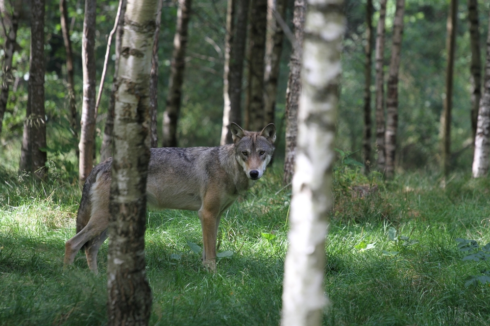 The recovery of the gray wolf is one of the nation's greatest success stories. Though it is still listed in some states, its populations elsewhere are stable.