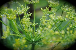 april-danann-fennel.jpg