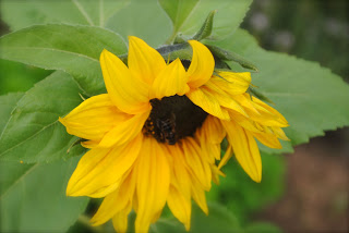 April-Danann-Sunflower-in-herb-garden.jpg