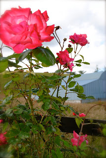 april danann Roses in the garden.jpg