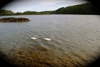 Swans in Lough Hyne