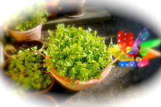 Rocket and salad leaves in pots outside my door - ready to party!