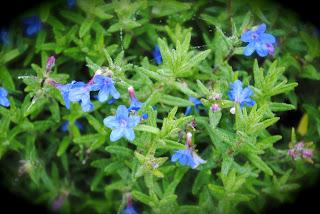 april-danann-Blue-Flowers .jpg