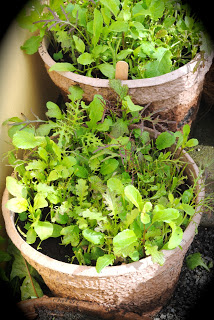 These are pots of salad leaves that we have been harvesting for a few days - yumm!