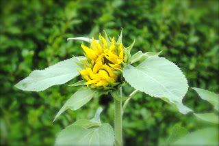 april-danann-Sunflower-opening.jpg