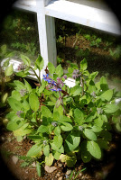 april-danann-Borage .jpg