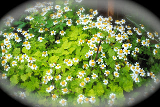 april-danann-Feverfew.jpg