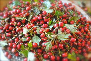 april-danann-Hawthorne-berries.jpg