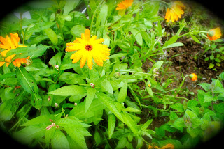 april-danann-Herb-Marigold.jpg