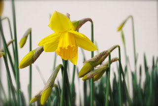 april-danann-Daffodil.jpg