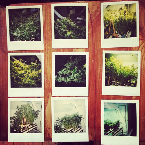 A collection of Grow-op Polaroids from 1997