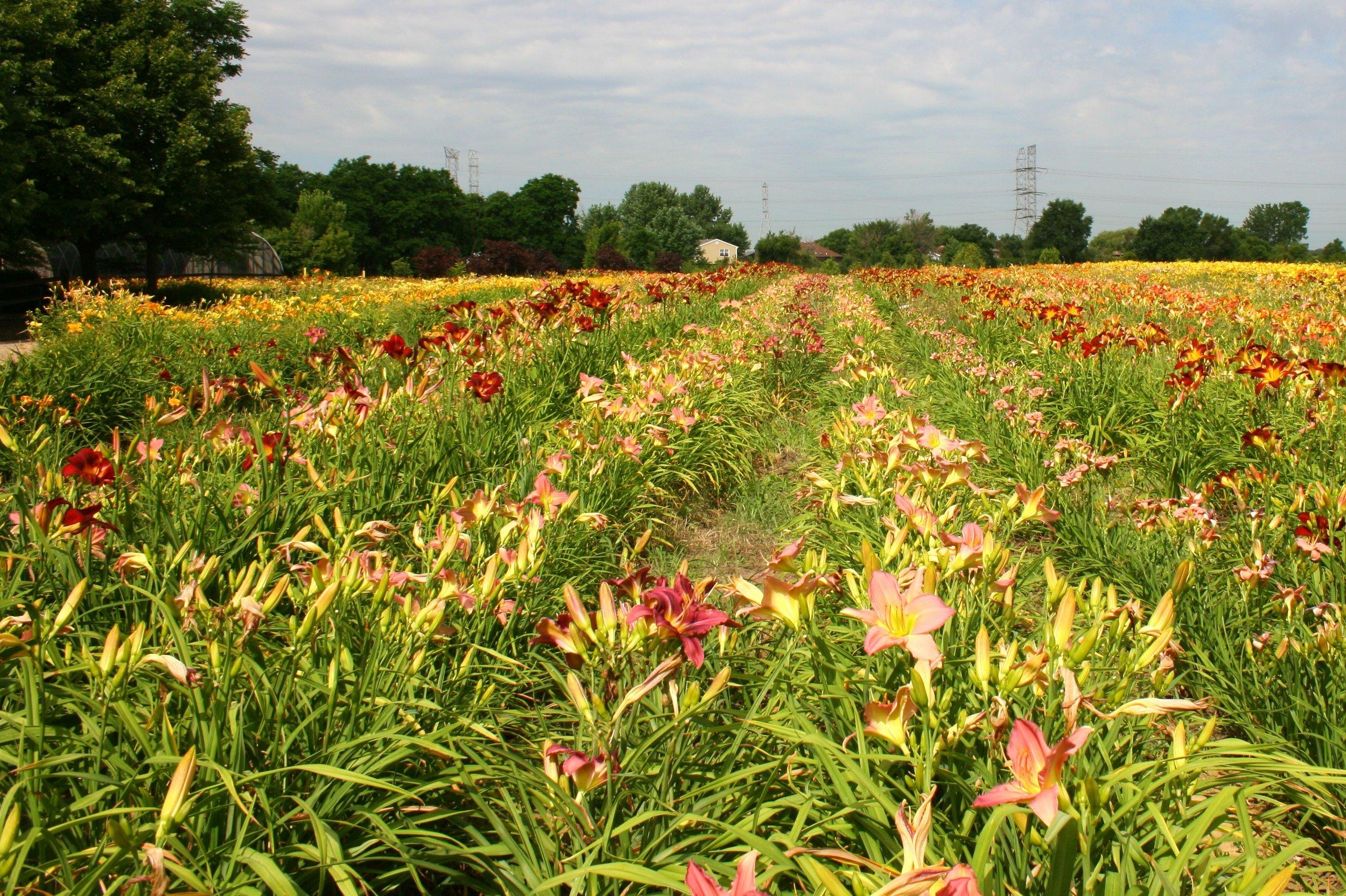 Wholesale Nursery Daylilies.JPG