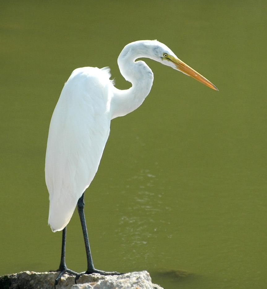Photographer:  Joe Merrell   Country: USA  Title: White Heron on Rock
