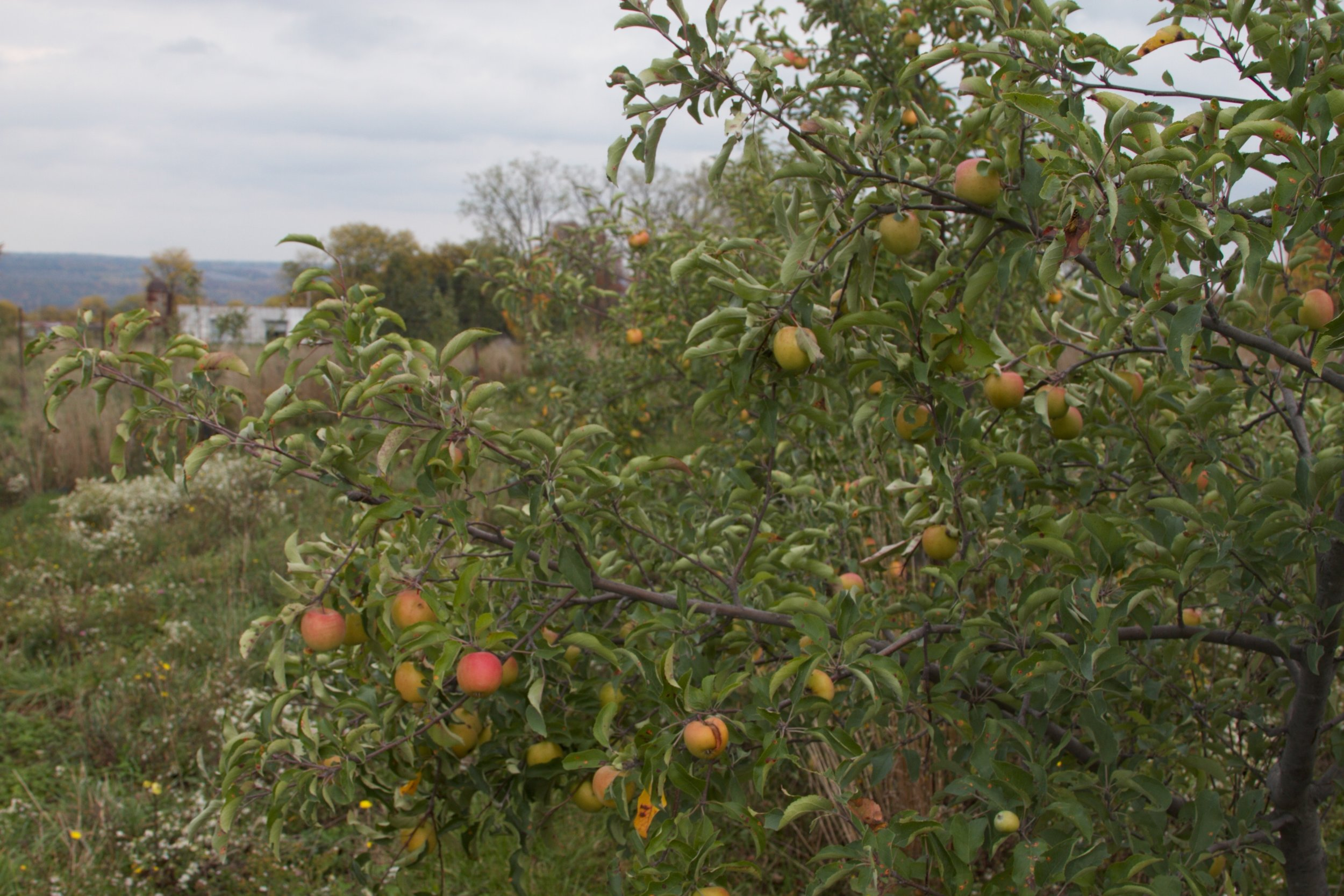 Apple trees need not be heavily sprayed to be productive. Cider-variety apples at Good Life Farm abound.