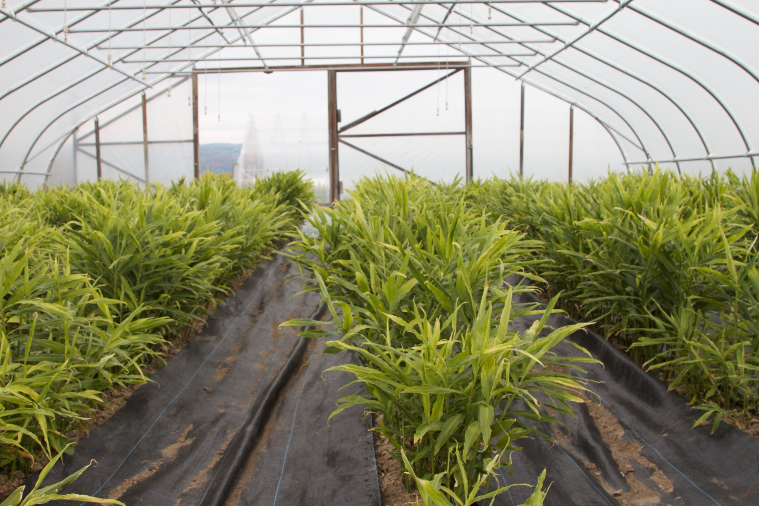 Ginger is usually a tropical crop from places like Hawaii and Peru, but it can be grown in northern climates in high-tunnels.