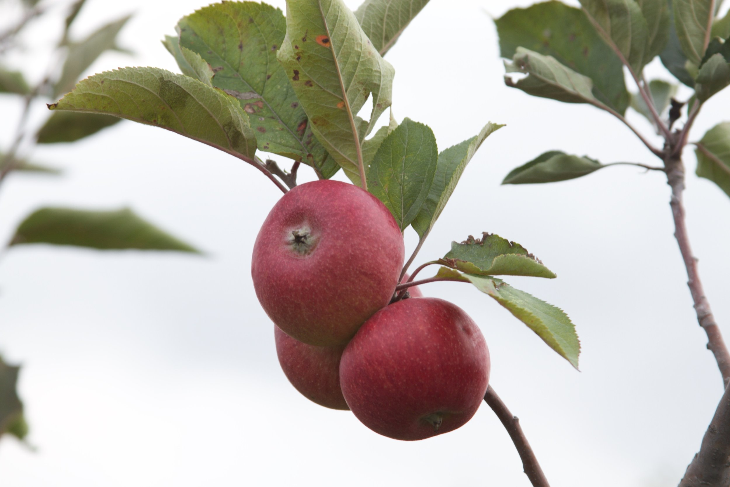 Cider apples are smaller, but have different, more aromatic flavors.