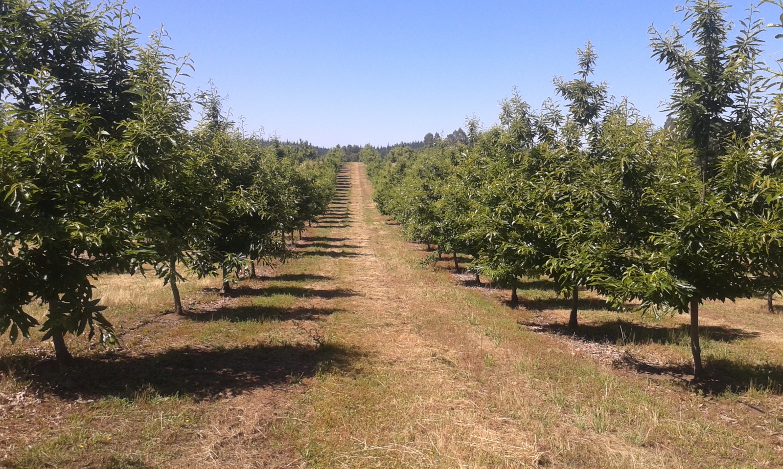 These trees are properly pruned, and this plantation is highly productive. If you're concerned about the monocultural nature of the plantation, bear with us. Perennial polycultures are fantastic, but for the time being, we're just discussing chestnuts. We're on the same page.  Source