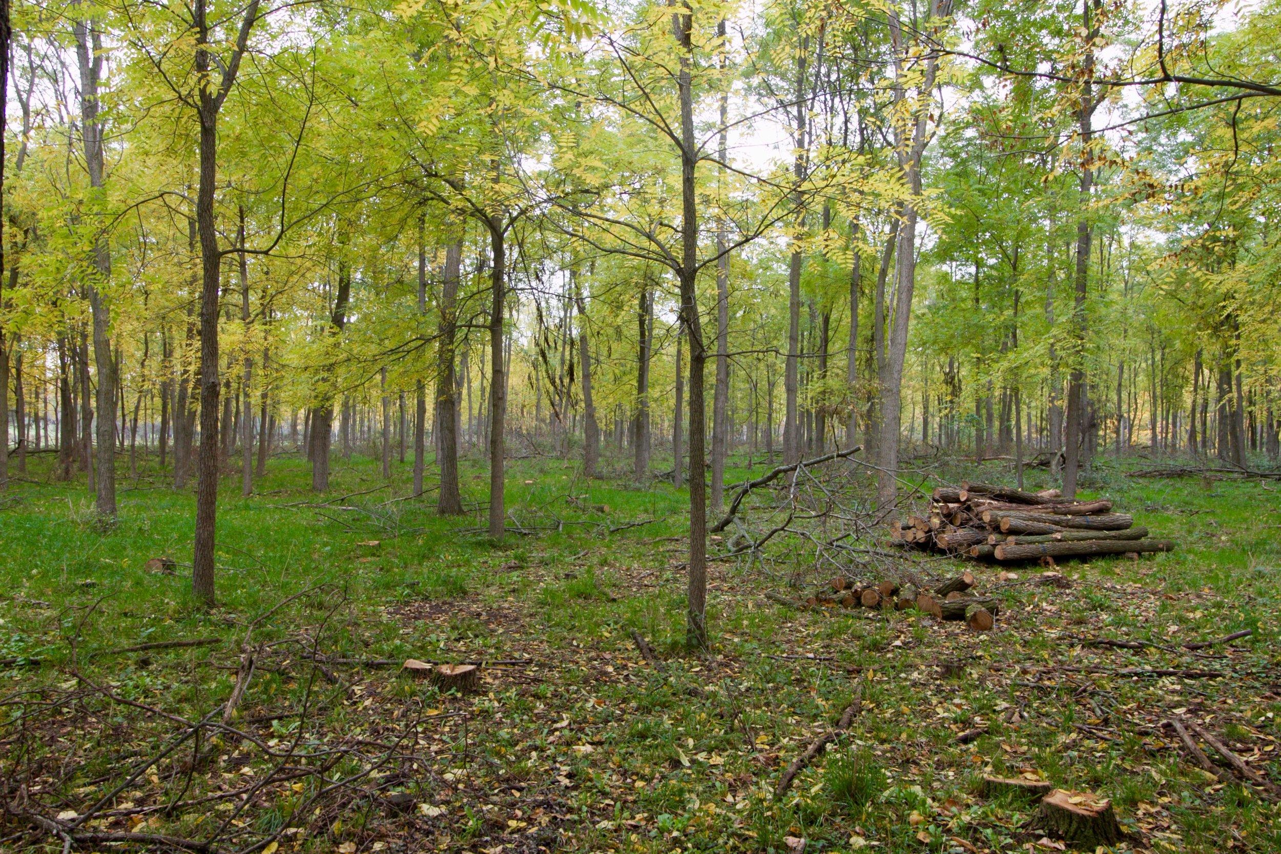 A black walnut and black locust plantation, managed as a silvopasture