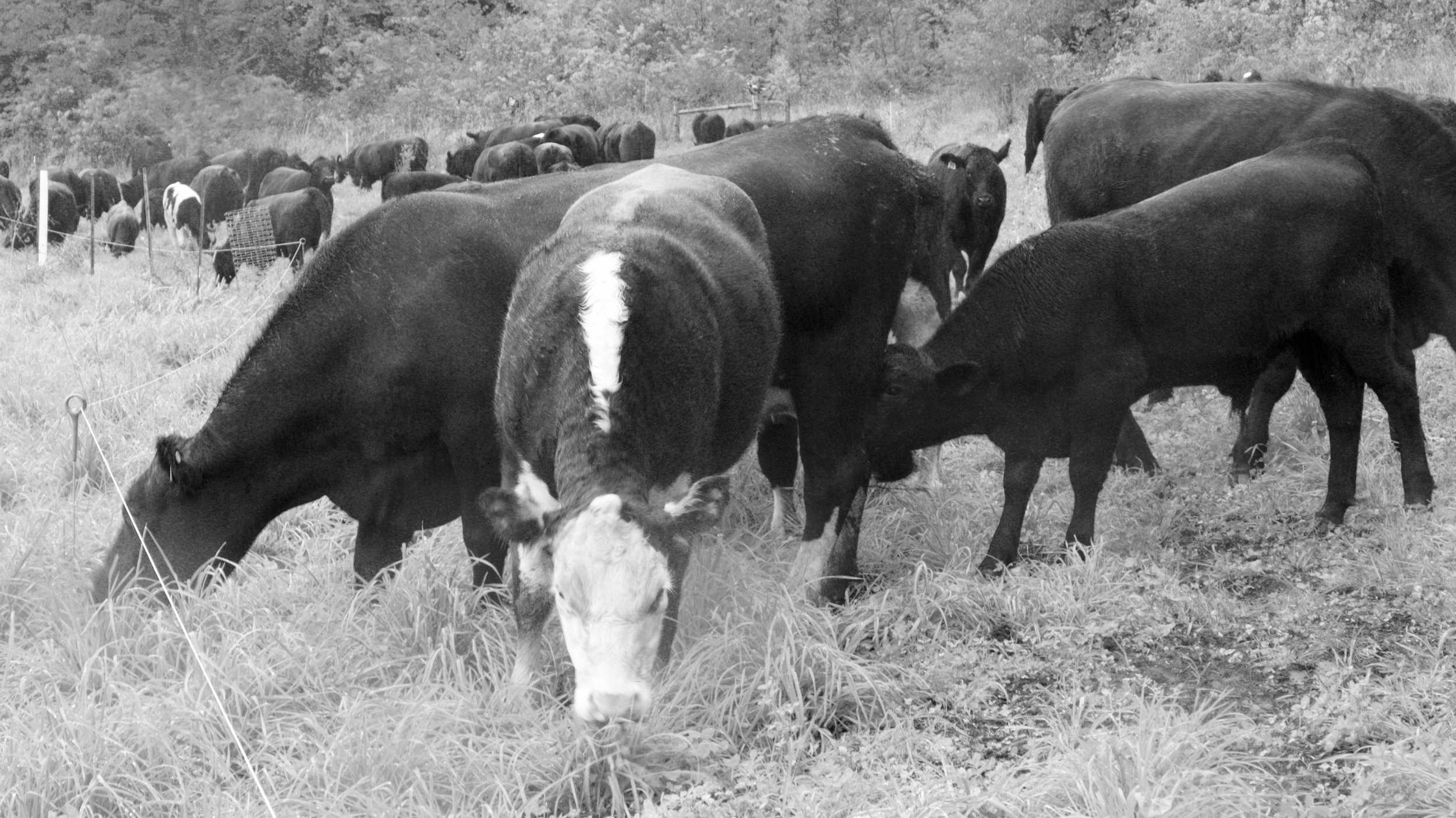 Jacob's cattle eat grass for their entire lives. They are moved to fresh pasture daily, such that they only eat the tips of the grass. The ends of the grass have the most energy, and help the cattle grow into large, healthy beasts. The slaughterhouse has a hard time believing that they are grass-finished because their fat content is on point.
