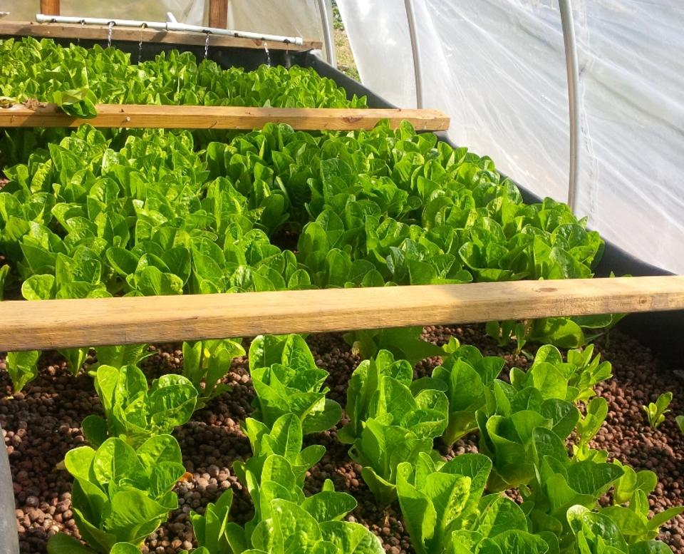 Romaine lettuces growing at the Growing Local NOLA aquaponic farm in New Orleans, LA