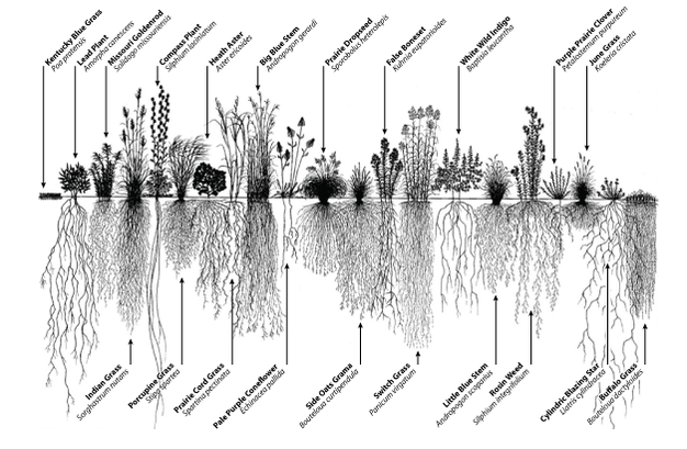 Figure 2  Image showing the diversity of root system architecture in prairie plants.© 2012  Nature Education  1995 Conservation Research Institute, Heidi Natura. All rights reserved.