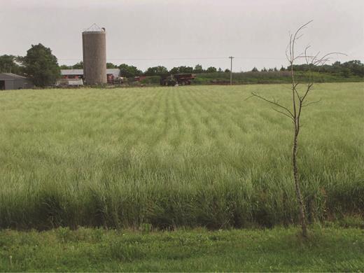 A Kernza perennial grain field, grown by farmer Charlie Melander near Salina, Kansas. Photograph: The Land Institute.